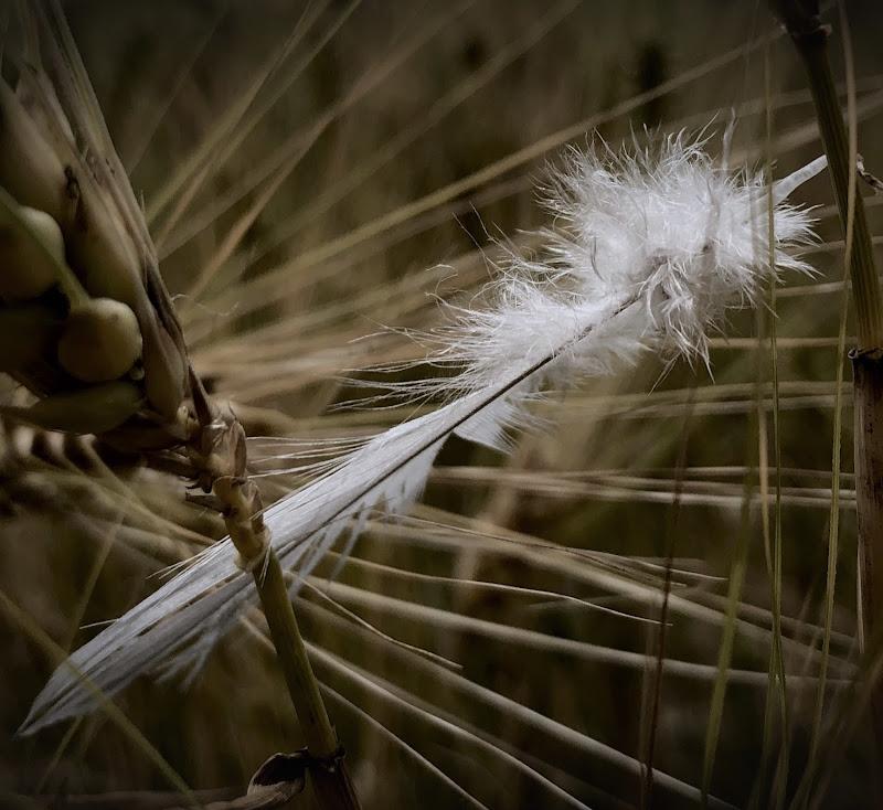 Piuma nel campo di grano di Marilu2019