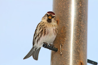Photo: For #BirdPoker High Key curated by +Phil Armishaw  A Common Redpoll staring me down, or maybe that's a thanks for the seed; I can't tell the difference.