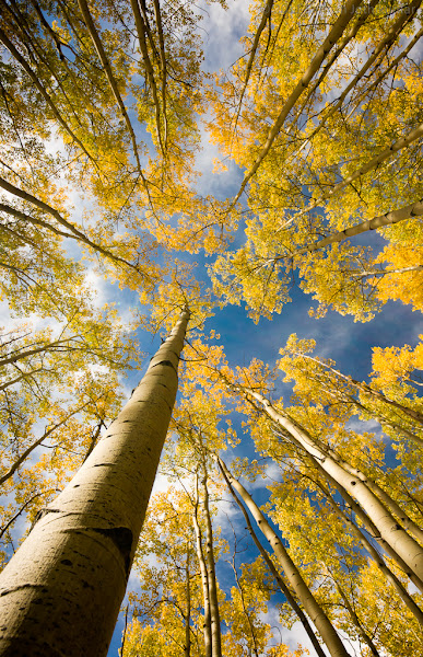 Photo: Aspens donning their fall colors in Santa Fe National Forest