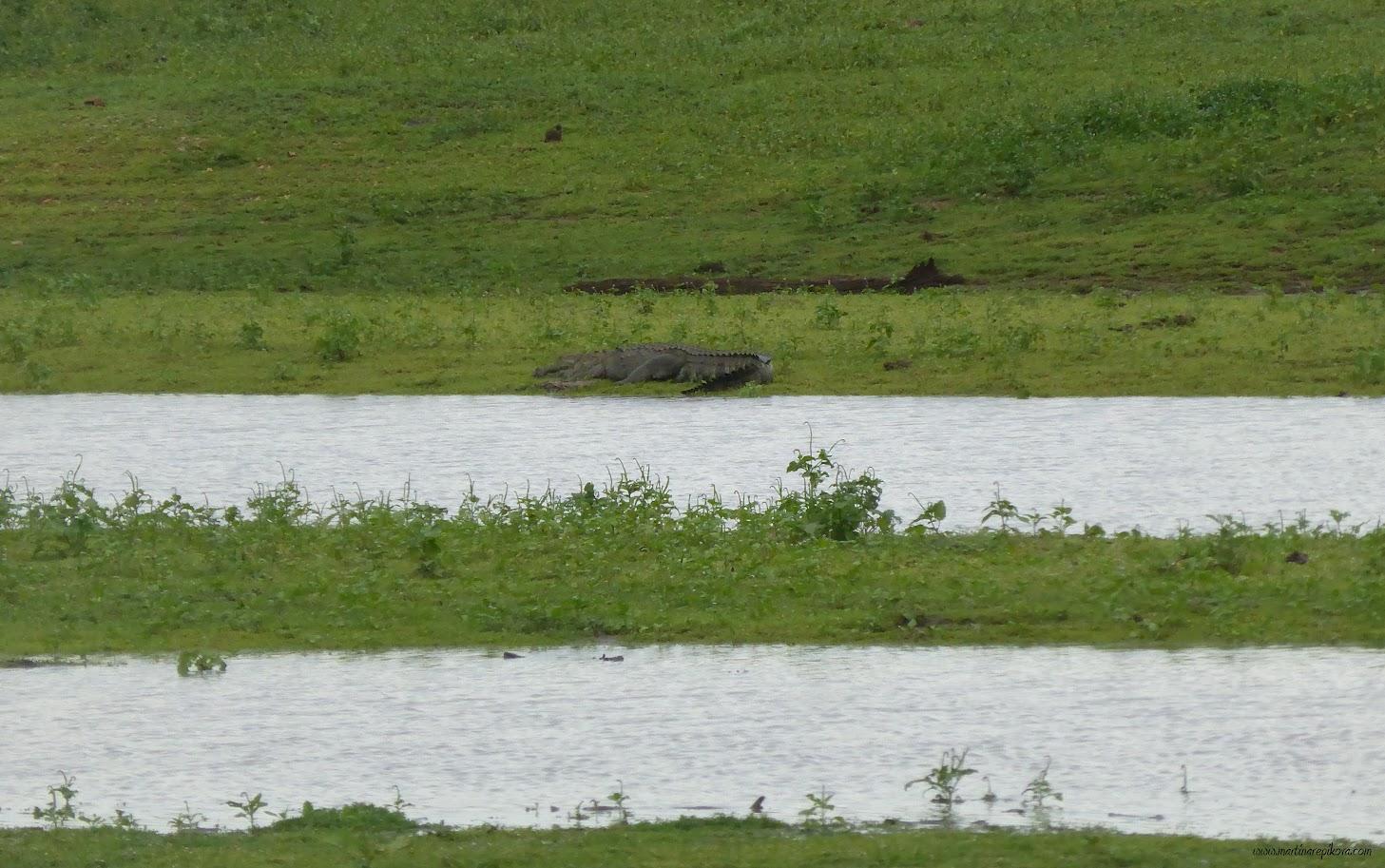 Sleeping crocodile on the shore of Uda Walawe reservoir, Sri Lanka