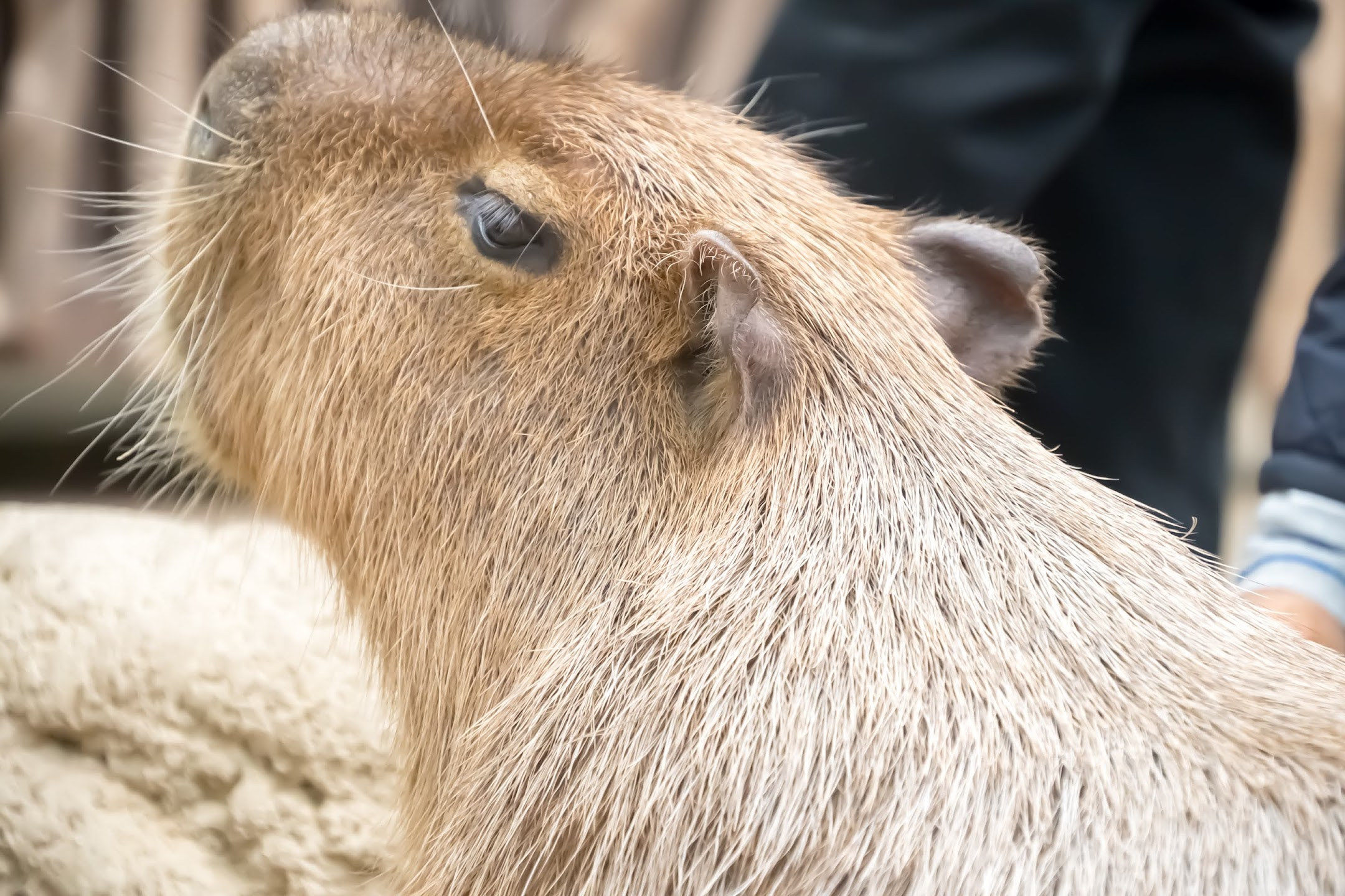 Kobe Animal Kingdom capybara1
