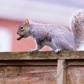Squirrel by Doris B - Animals Other ( red, nature, white, wildlife, nuts, nut, eating, tail, hungry, runing, squirrel )