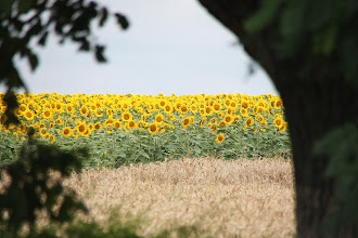 Photo: Day 88 - Field of Sunflowers