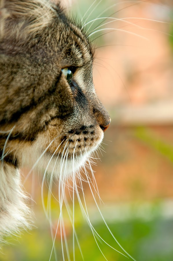 ...Far away... by Luana Racan - Animals - Cats Portraits ( maine coon big cat look distance green yellow sad portrait far, pwc84 )