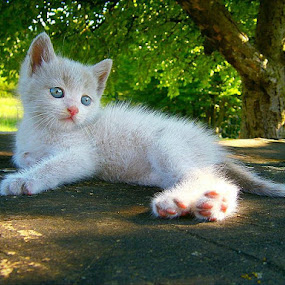 by Megi Šajn - Animals - Cats Portraits ( light, white cat, cat, animals, blue eyes )