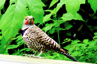Photo: Male Red-shafted Northern Flicker showing his moustache.