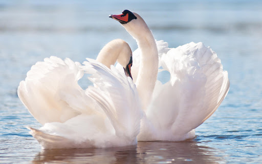 Swan Live Wallpaper