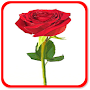 How to Draw a Rose APK icon
