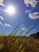 Photo: 太陽と水稲