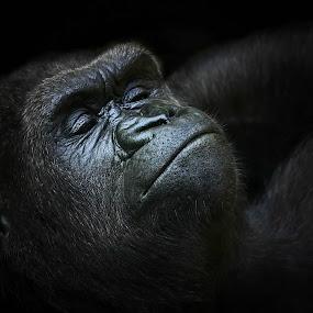 süße Träume by Elke Krone - Animals Other Mammals ( gesicht, schwarz, augen, weibchen, gorilla, geschlossen, tierportrait, gorillaportrait )