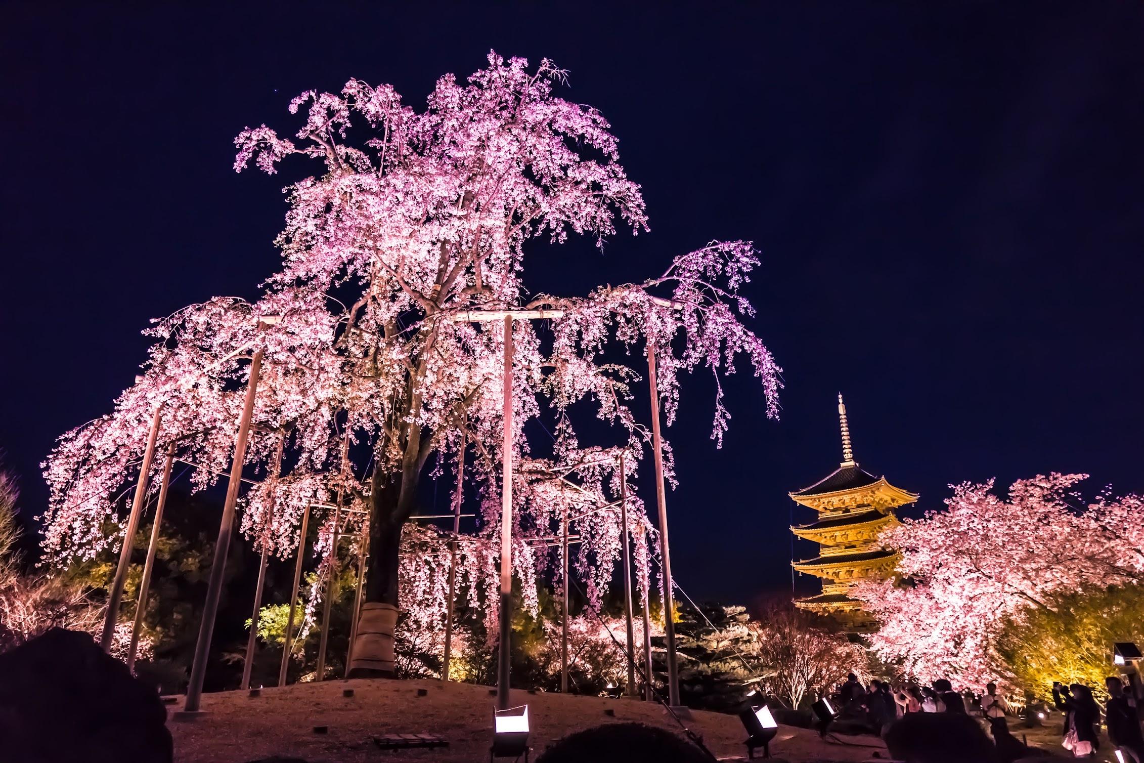 京都 東寺 桜 ライトアップ3