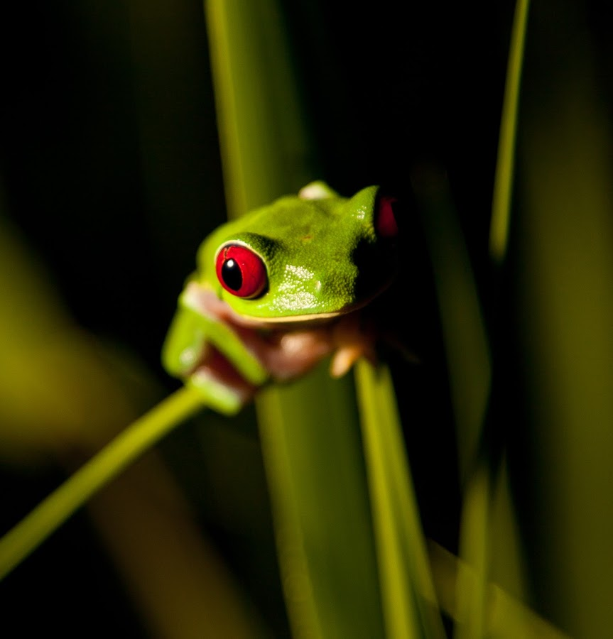 Red Eyed Tree Frog by William Allinson - Animals Amphibians (  )