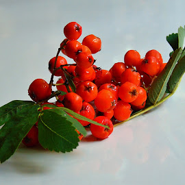 ROVANSBERRIES by Wojtylak Maria - Nature Up Close Other plants ( red, arrangement, fruits, rovanberries, tree, branch )