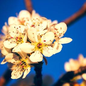 Peach tree blossoms by Scott Thomas - Flowers Flowers in the Wild ( nature, tree, peach, flower, blossoms )