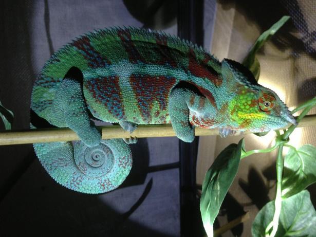 Image result for panther chameleons sleeping