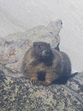 Photo: Another marmot pic on Hallett Peak. Photo by Steph Petri