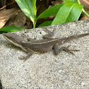 Green Anole - female