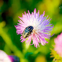 Spotted Flower Beetle