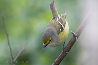 Photo: White-eyed Vireo - LaffIte's Cove Spring 2013