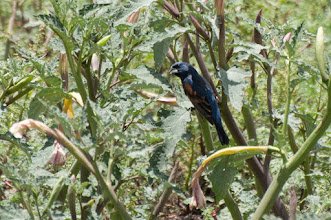 Photo: Blue Grosbeak (Azurbischof); San Miguel de Allende, GTO