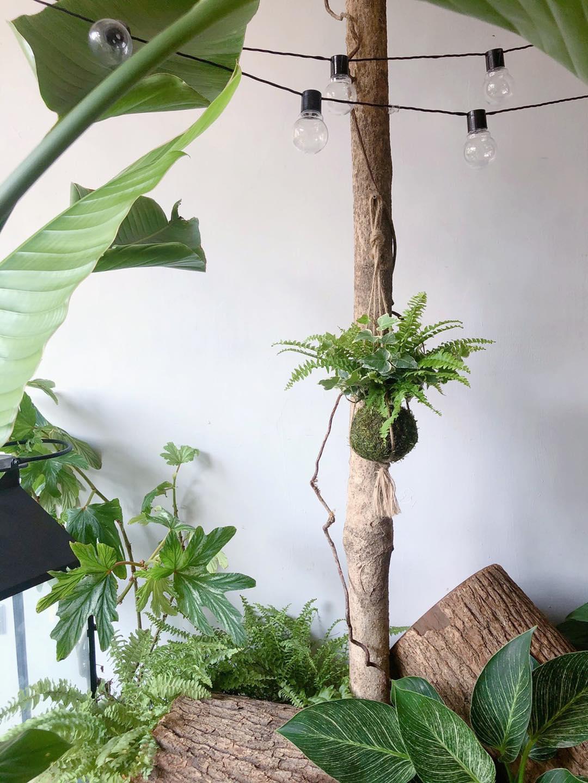 苔球陳列方式-麻繩吊掛苔球