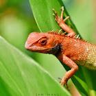 Oriental Garden Lizard ( ♂ ) / छेपारो-को प्रजाती