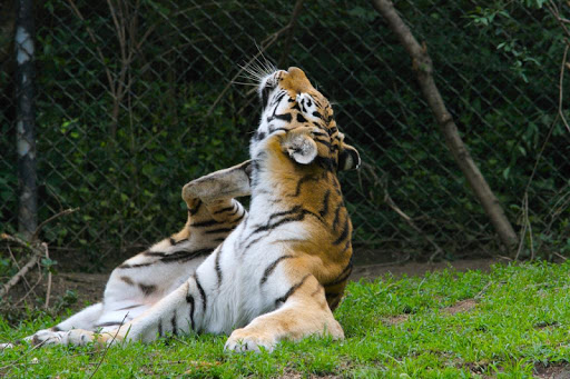 Bengal Tigers Wallpapers FREE