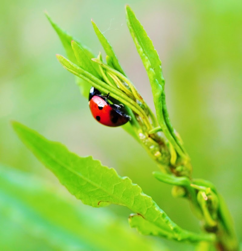 ladybug di chianamaste