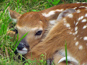 Photo: Adorable at this stage, this fawn will grow up to become a tree-destroying machine.