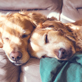 by Brook Kornegay - Animals - Dogs Portraits ( canine, pet, dog, sleep, golden retriever )