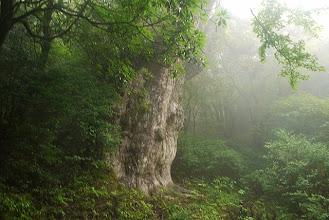 Photo: 縄文杉
