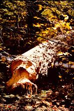 Photo: Beaver work. 1999