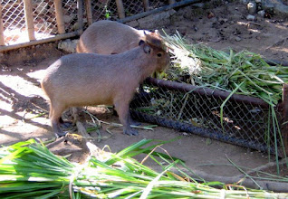 """Photo: These are REALLY BIG guinea pigs -- called """"Capybara""""  They are bigger than most dogs."""