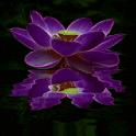 Purple Lotus Live Wallpaper icon