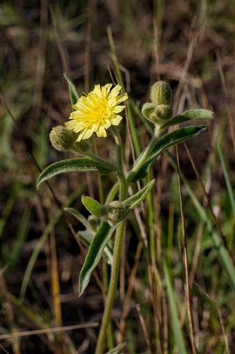 Andryala integrifolia