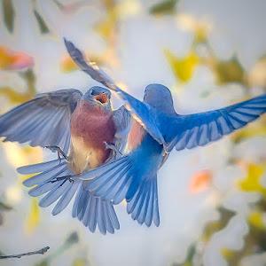 Bluebirds-Fighting.jpg