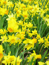 Photo: Yellow daffodils and mini daffodils at Cox Arboretum in Dayton, Ohio.