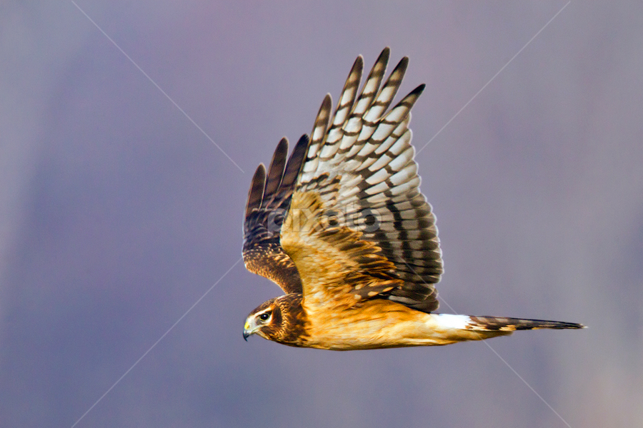 Northern Harrier by Herb Houghton - Animals Birds ( bird of prey, marsh hawk, herbhoughton.com, non captive, hawk, harrier )