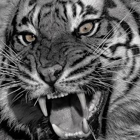 Ferocity Close Up by David Hammond - Animals Lions, Tigers & Big Cats ( cats, animals, tiger, bw, captive, big,  )