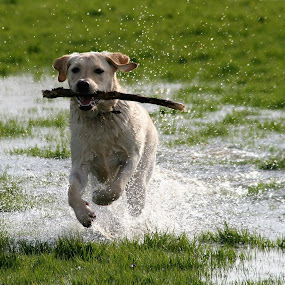 fetch by Sue Rickhuss - Animals - Dogs Playing (  )