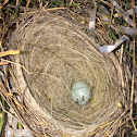 Eastern bluebird egg
