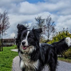 Border collie Sky by Thyra Schoonderwoerd - Animals - Dogs Portraits ( clouds, border collie, dog portrait, puppy, dog )