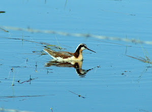 Photo: Wilson's phalarope female in the Big Hole Valley