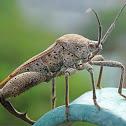 Sweetpotato bug