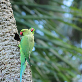 Returning to home !! Rose Ringed Parakeet at A. J. C. Bose National Botanic Garden, Shibpur, Howrah, INDIA. by Kisor Mukhopadhyay - Animals Birds ( suru nair, tapas chattopadhyay, mahuya mukhopadhyay, pabitra ghosh, asit kumar ghatak )