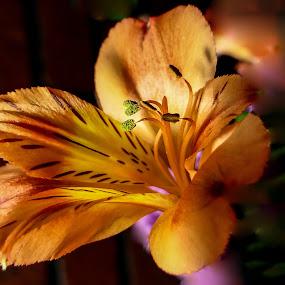 Firery Orange by Dave Walters - Flowers Flower Arangements ( mystic, nature, colors macro, flower, lumix fz2500,  )