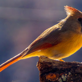 by Jim Harris - Animals Birds ( up close, perched, cardinal, female, sunlight )