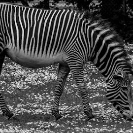 Zebra by Garry Chisholm - Black & White Animals ( zebra, banham, mammal, nature, garry chisholm )