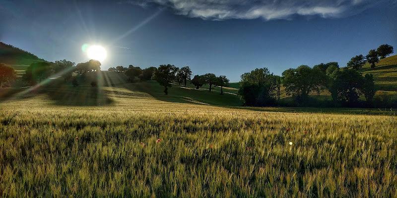 Campo di grano di leorol