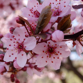 Spring Pink by Ann Marie - Flowers Tree Blossoms ( tree, blooms, pink, spring, blossoms )